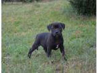 Staffordshire Bull Terrier Puppy for sale in Reseda, CA, USA