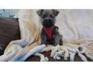 Cairn Terrier Puppy for sale in Kaufman, TX, USA