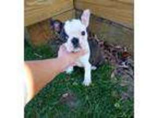 View Ad Boston Terrier Puppy For Sale North Carolina Monroe Usa