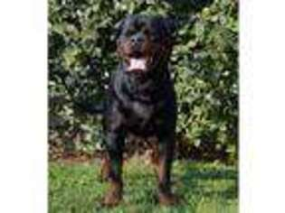 Rottweiler Puppy for sale in Olney, IL, USA