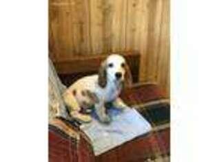 Basset Hound Puppy for sale in Millbury, MA, USA