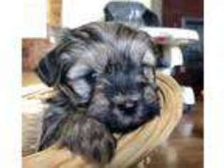 View Ad Havanese Puppy For Sale Iowa Independence Usa