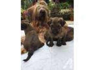 View Ad Briard Puppy For Sale Near California Chula Vista Usa