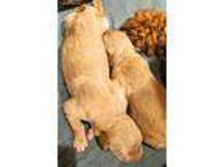 View Ad Goldendoodle Puppy For Sale Rhode Island West