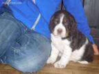 Puppyfinder com: English Springer Spaniel puppies puppies for sale