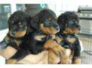 View Ad Rottweiler Puppy For Sale Texas Waco Usa