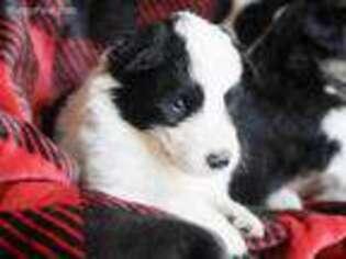Border Collie Puppy for sale in Mount Vernon, MO, USA