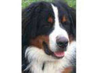 View Ad Bernese Mountain Dog Puppy For Sale Wisconsin