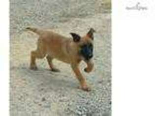 View Ad Belgian Malinois Puppy For Sale Virginia Lynchburg Usa