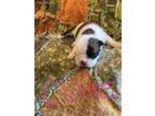 Bulldog Puppy for sale in Unknown, , USA