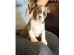 Boston Terrier Puppy for sale in Alamogordo, NM, USA