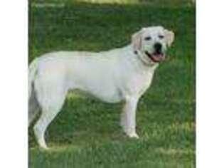Labrador Retriever Puppy for sale in Manhattan, KS, USA