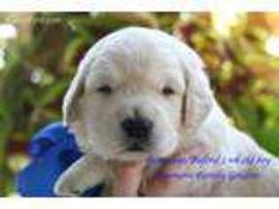 View Ad: Golden Retriever Puppy for Sale near Kentucky