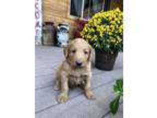 Labradoodle Puppy for sale in Show Low, AZ, USA