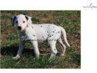 View Ad Dalmatian Puppy For Sale Missouri Springfield Usa