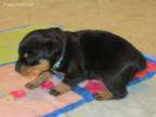 View Ad Rottweiler Puppy For Sale Colorado Paonia Usa