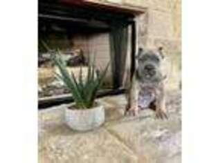 Cane Corso Puppy for sale in Arlington, TX, USA