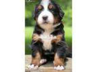 View Ad Bernese Mountain Dog Puppy For Sale Ohio
