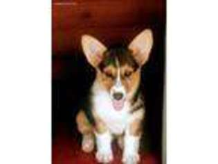 View Ad Pembroke Welsh Corgi Puppy For Sale Florida Spring Hill Usa