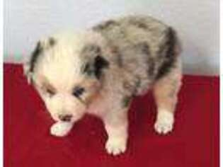 Australian Shepherd Puppy for sale in Modesto, CA, USA