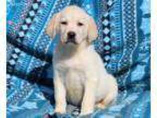 Labrador Retriever Puppy for sale in Riverhead, NY, USA