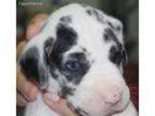 View Ad Great Dane Puppy For Sale Missouri Clinton Usa