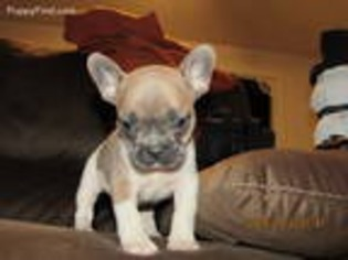 View Ad French Bulldog Puppy For Sale Illinois Elgin Usa