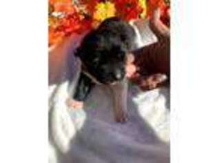 Akita Puppy for sale in Las Vegas, NV, USA