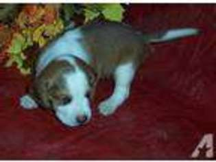 View Ad Beagle Puppy For Sale California Lemoore Usa
