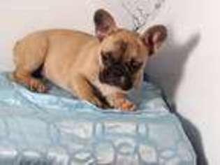 View Ad French Bulldog Puppy For Sale Massachusetts Framingham Usa