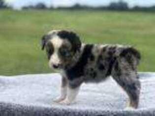 PuppyFinder com - View Ad: Photo #1 of Listing Miniature