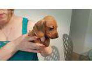 View Ad Dachshund Puppy For Sale Oregon Bend Usa