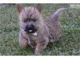 View Ad: Cairn Terrier Puppy for Sale near Missouri, Springfield