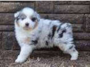 Australian Shepherd Puppy for sale in Amoret, MO, USA