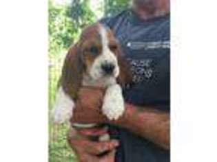 Puppyfinder Com Basset Hound Puppies For Sale Near Me In Wisconsin