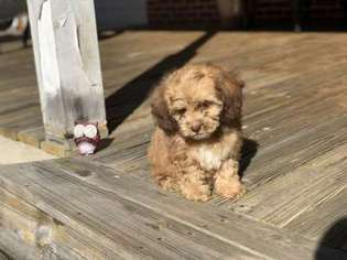 View Ad Cock A Poo Puppy For Sale Near Georgia Griffin Usa Adn