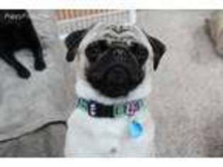 Puppyfinder com: Pug puppies for sale near me in Kewaunee