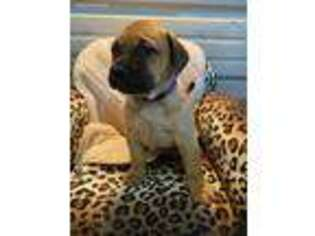 Bullmastiff Puppy for sale in Monett, MO, USA
