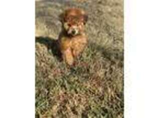 Mutt Puppy for sale in Hanford, CA, USA