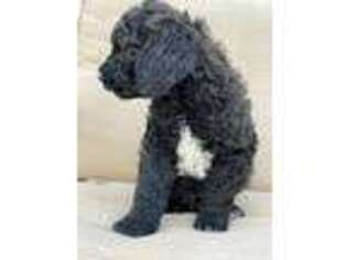 Goldendoodle Puppy for sale in Riverton, UT, USA