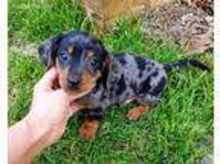 Puppyfindercom Dachshund Puppies For Sale Near Me In Monroe North