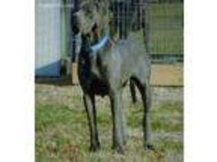Great Dane Puppy for sale in Shipshewana, IN, USA