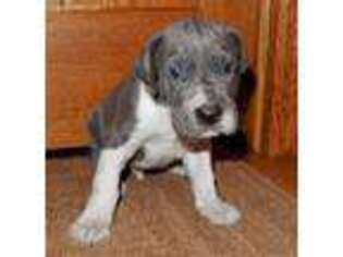 Great Dane Puppy for sale in Charlotte, MI, USA