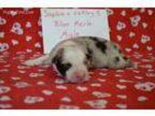 Australian Shepherd Puppy for sale in Opelousas, LA, USA