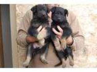 View Ad German Shepherd Dog Puppy For Sale Idaho Boise Usa