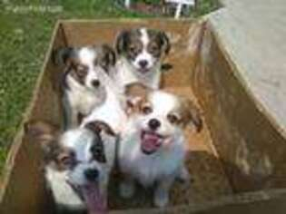 Puppyfinder com: Papillon puppies puppies for sale near me