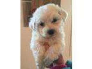View Ad: Bichon Frise Puppy for Sale, Virginia, Virginia
