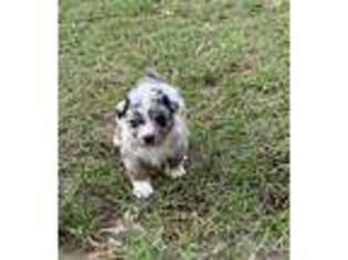 Australian Shepherd Puppy for sale in Savannah, GA, USA