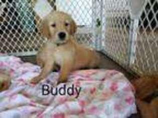 View Ad Golden Retriever Puppy For Sale California Sacramento Usa