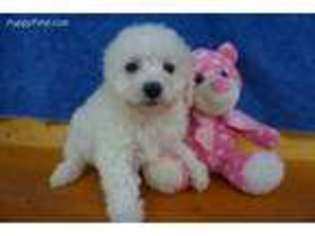 Puppyfinder com: Bichon Frise puppies puppies for sale near